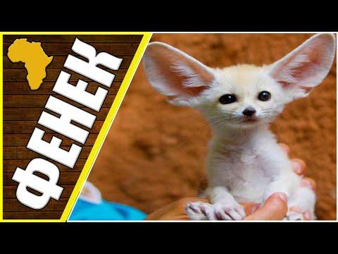 Фенек интересные факты, животные Африки, фенек, интересные факты о лисах.