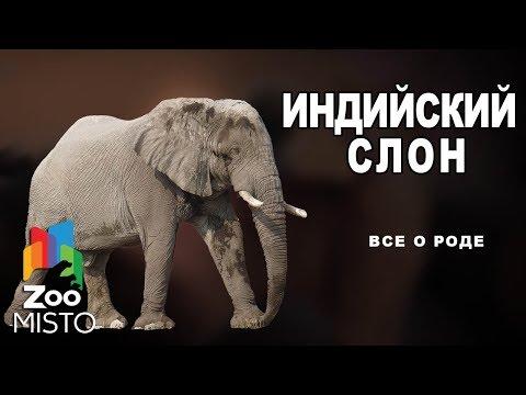 Индийский слон - Все о млекопитающем | Вид слоновых