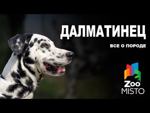 Далматинец - Все о породе собаки | Собака породы Далматин