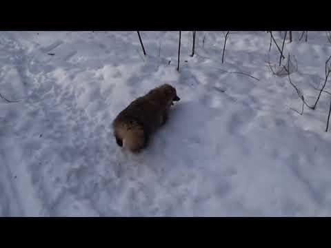 """""""Нападение"""" енотовидной собаки в рязанском лесу"""