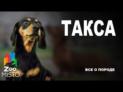 Такса - Все о породе собаки | Собака породы Такса