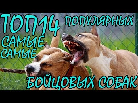 ТОП14 Самые популярные бойцовые породы собак + БОНУС - ОКЕАН ФАКТОВ