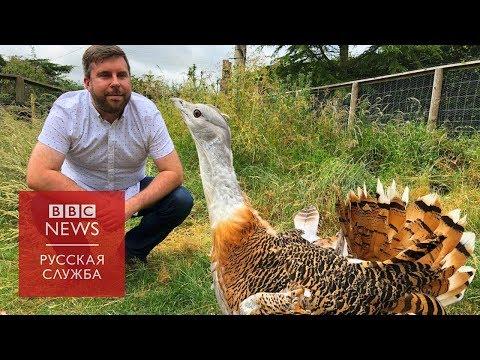 #Londonблог: как дрофы из России нашли новый дом под Солсбери