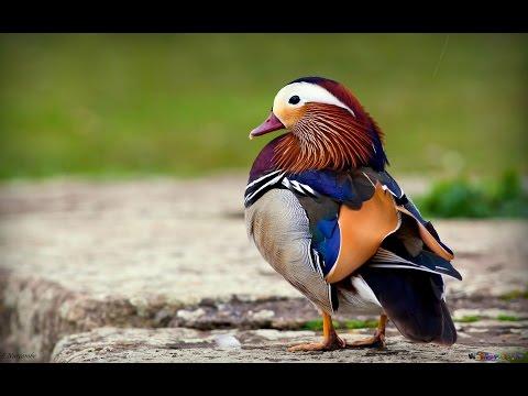 Утка мандаринка (Павлин отдыхает!!!) - самая красивая утка на земле!
