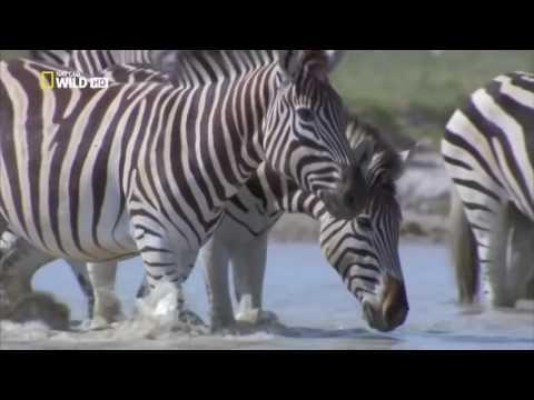 Дикая Калахари Зебры Южной Африки Документальный Фильм National Geographic
