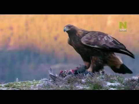 Владыка воздуха Беркут (BBC planet earth)