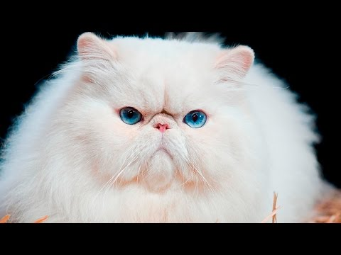 Топ 5 самых пушистых кошек в мире