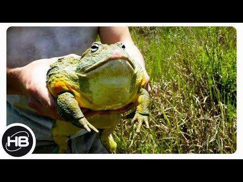 Самые необычные лягушки и жабы. top 10