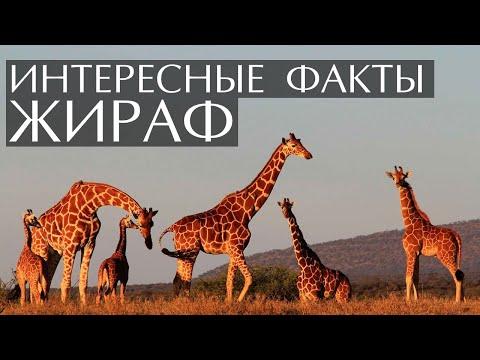 Жираф - интересные факты