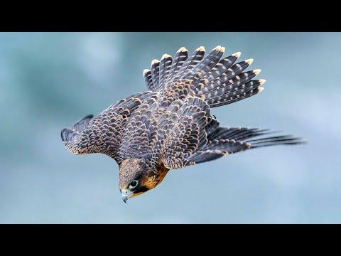 Сапсан - пикирующий истребитель! Самое быстрое животное на планете!
