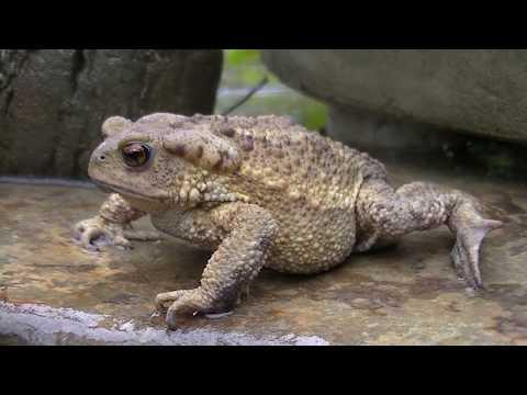 Земляная жаба.