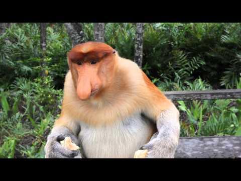 Носатая обезьяна.