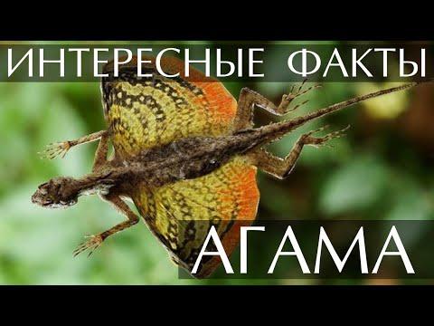 Агама - интересные факты