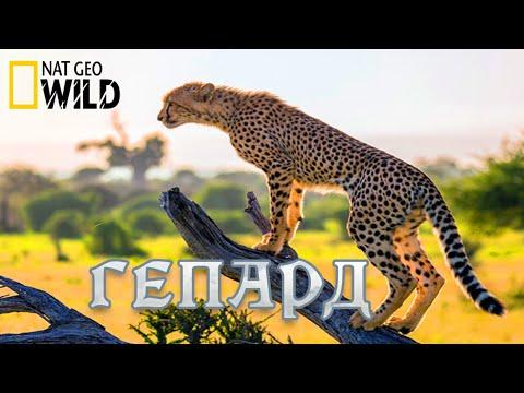 Гепард - Фатальный инстинкт. #Документальный фильм. National Geographic 12+
