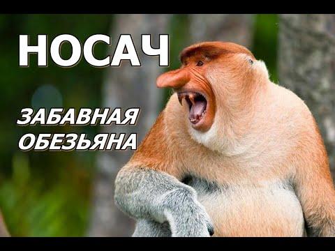 НОСАЧ - Забавная обезьяна
