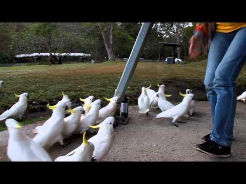 Кормление попугаев Какаду в Сиднее