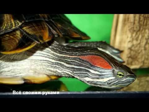 Уход и содержание красноухих черепах!