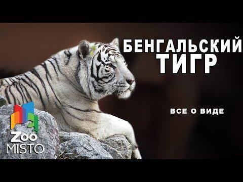 Бенгальский тигр- Все о подвиде тигра | Семейство кошачьих бенгальский тигр