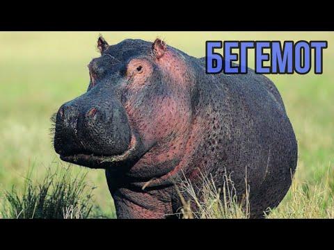 Интересные факты о Бегемотах.