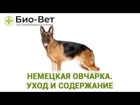 Немецкая Овчарка - Уход и Содержание // Сеть Ветклиник Био-Вет