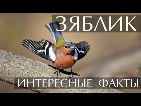 Зяблик - интересные факты (Фото, Видео, Голос птицы)