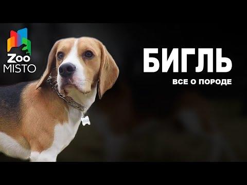 Бигль - Все о породе собаки | Собака породы Бигль