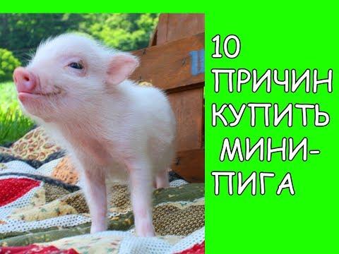 10 ПРИЧИН КУПИТЬ МИНИ-ПИГА
