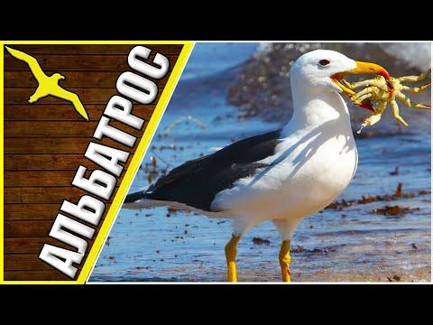 Странствующий альбатрос, интересные факты об альбатросе, альбатрос