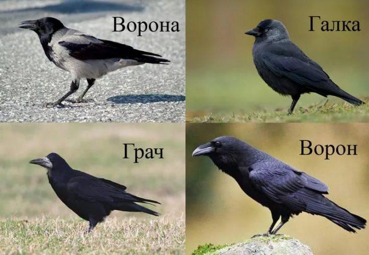 Ворона и ворон: