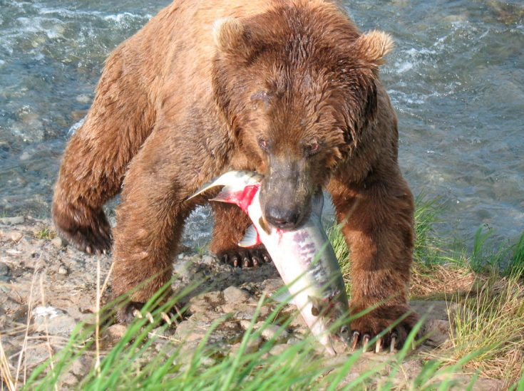Рацион питания бурых медведей