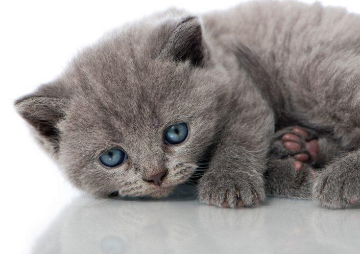 Голубые британские кошки
