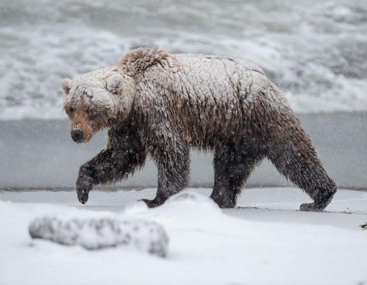 Медведи-шатуны