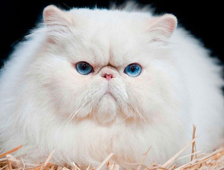 Белые персидские кошки