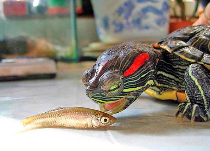Рацион питания черепахи