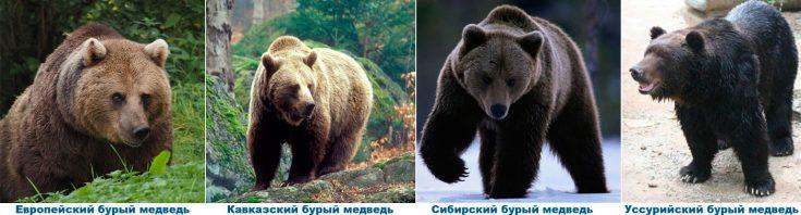 Виды бурого медведя