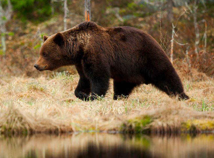 Образ жизни бурого медведя
