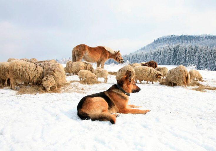 Немецкая овчарка охрана