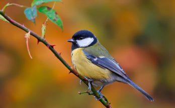 Птицы синицы