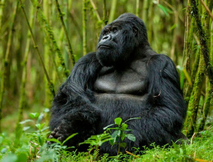 Восточная горилла