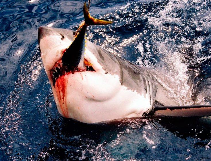 Рацион питания акул