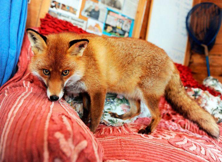 Одомашнивание лисицы