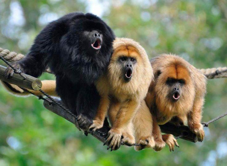 враги обезьян