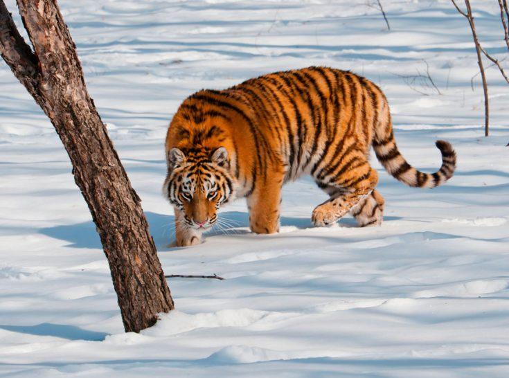 Размеры тигра