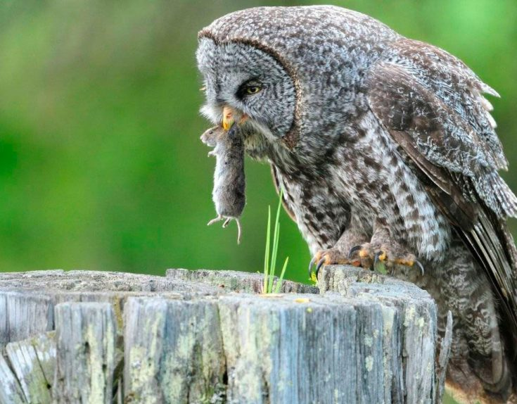Что едят совы