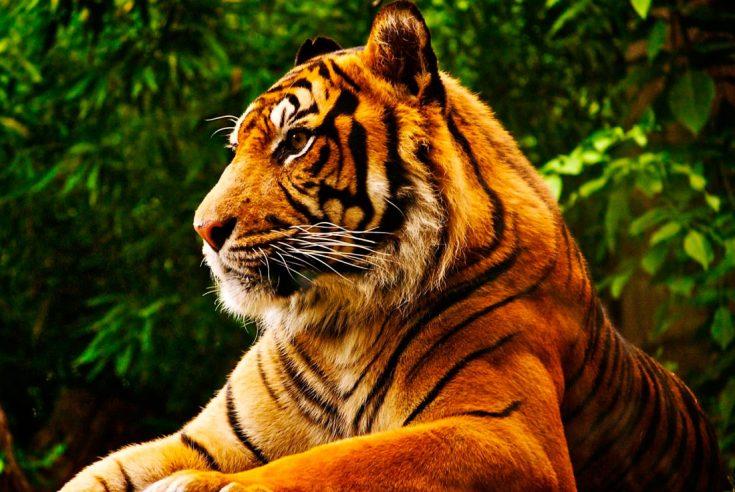 Сколько живут тигры