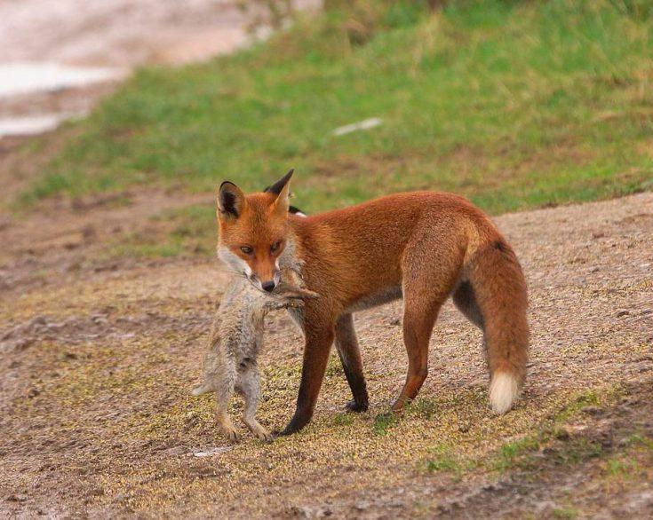 Питание обыкновенной лисы