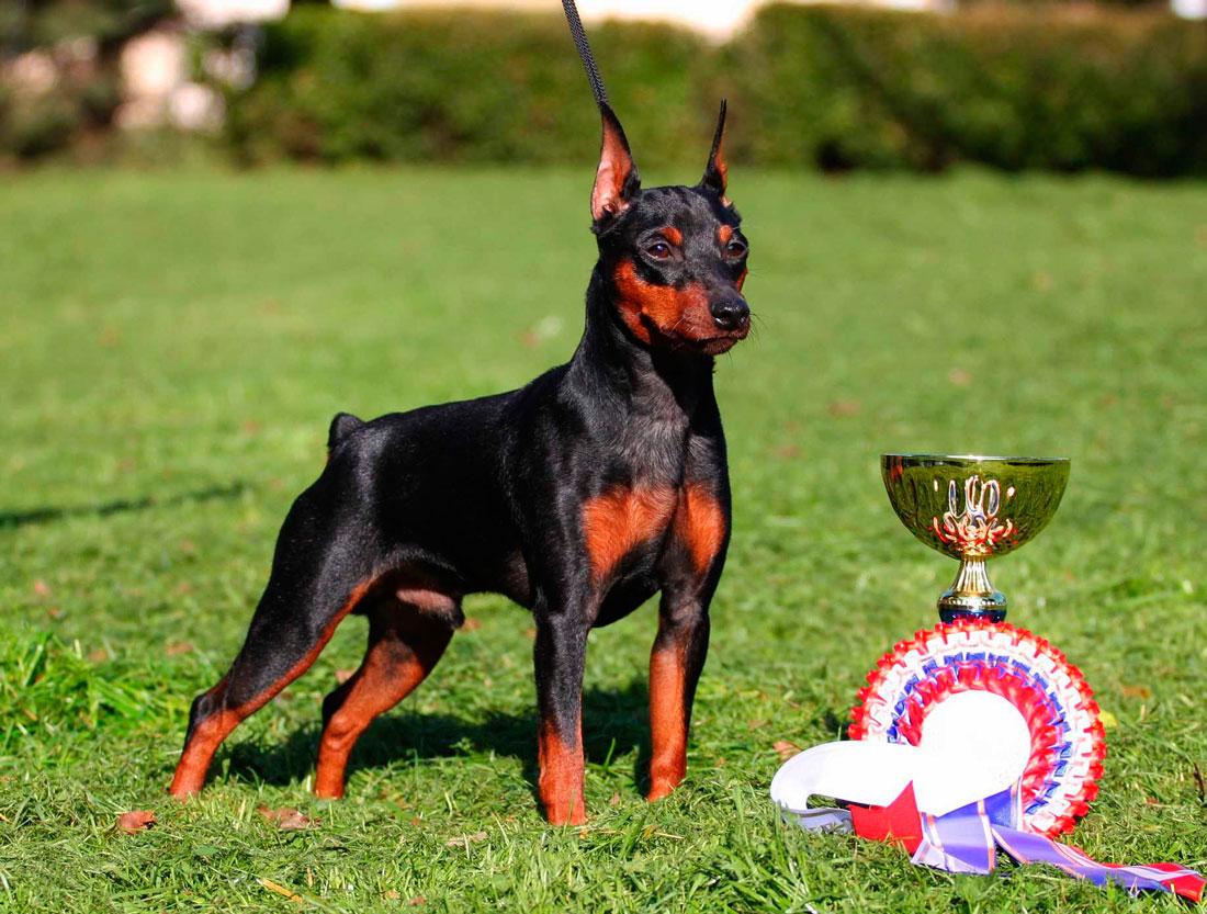 Карликовый пинчер: фото собаки, описание породы, цена щенков и уход | 833x1100