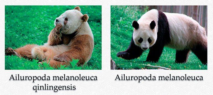 Виды большой панды