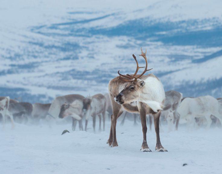 Образ жизни северных оленей