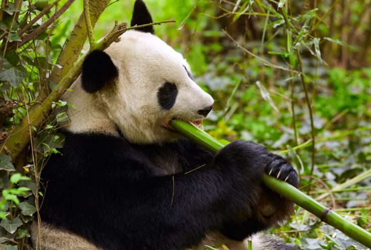 Рацион питания панды